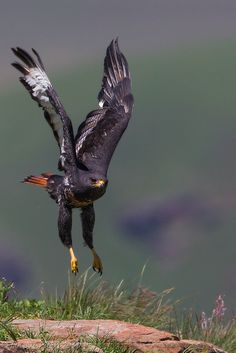 emuwren:  The Jackal Buzzard - Buteo rufofuscus, is an African bird of prey. Photo by Jan Saunders.