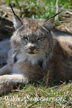 Canadian Lynx <3