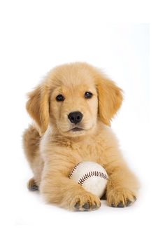 Golden Retriever dog breed information center. Golden Retriever personality, origins, costs and health issues with FAQs, buying advice and care tips. Cute Puppies, Cute Dogs, Dogs And Puppies, Doggies, Retriever Puppy, Dogs Golden Retriever, Golden Retrievers, Baby Animals, Cute Animals