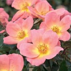 Rainbow Knock Out Rose, two-inch coral pink flowers with a sunny yellow center.