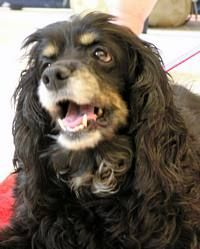 Queenie is an adoptable Cocker Spaniel Dog in Austin, TX. Queenie is a precious senior girl that loves snuggling, napping, and watching the world go by. She is always ready to greet her family with ta...
