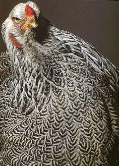 Parece que una gallina Oscuro Brahma.  Muy bien marcada.  Me gusta su ceño fruncido.
