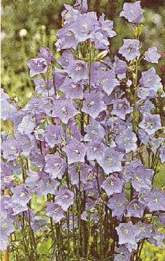 Check out the deal on Campanula persicifolia Blue 36 Strip Tray at Hazzard's Plants