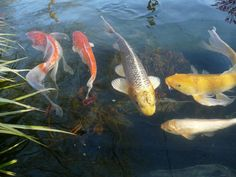 Koi are a must for ponds Beauty And The Best, Ponds Backyard, Water Garden, Koi, Fish, Pets, Pisces, Water Gardens, Animals And Pets