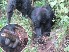 young gorillas worked together to dismantle the poachers' trap that killed their friends