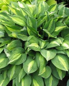 Late summer is the best time to divide hostas. You can split miniature to medium-size hostas every four to five years. But I avoid dividing my large and giant hostas because they take up to six years to regain their domineering size. The only time hostas need dividing is when they begin showing signs of decline due to root competition...