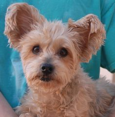 Snuggles debuts for adoption today at Nevada SPCA (www.nevadaspca.org) and she needs someone to love.  She is a delightful girl, a Silky Terrier, 9 years of age and spayed, housetrained, and good with other dogs.  Snuggles was at another shelter that asked for our help and we had dental care provided for her.  Please come meet this angelic girl.
