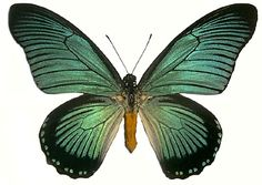 Papilio zalmoxis is the second largest butterfly in Africa. It soars very high in the rainforest appearing as blue pieces of sky falling through the trees.