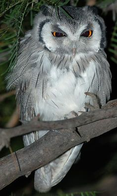 Southern Whitefaced Owl -