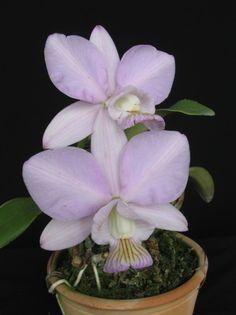 Cattleya nobilior amaliae 'Beca'