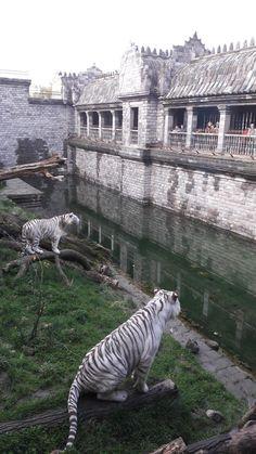 White tigers at Pairi Daiza park. Brugelette, Belgium. 2016