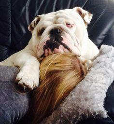 Every bulldog thinks they're weightless... therefore can be a lap dog