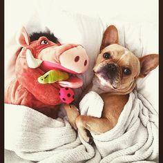 """Hakuna My Frenchie"", French Bulldog, via  https://instagram.com/p/2OqItotSGS/?taken-by=frenchie.world"