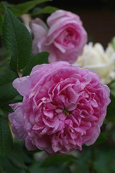 Madame Souveton est une belle rose Portland rose, très parfumée, à la floraison…