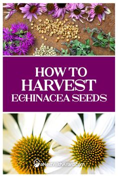 Planning to grow drought-tolerant coneflowers from seed? Our article teaches you how to harvest echinacea seeds and preserve them for future planting. #echinacea #seeds #flowers #coneflower Blooming Plants, Harvest, Replant, Plants, Echinacea, Backyard Landscaping, Seeds, Beautiful Flowers, Flowers