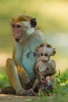 Toque Macaque, Yala National Park, Sri Lanka