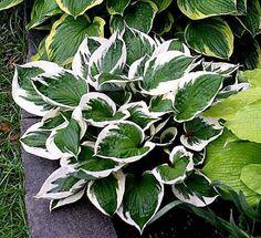 Hosta Patriot (Hosta fortunei)  Gröna blad med vit kantmarkering, en av våra bästa bladväxter. Trivs bra i halvskugga i något tung, fuktighetshållande men näringsrik, väldränerad jord. Kan odlas som kantväxt, solitär eller marktäckare. Ljust lavendelfärgade blommor i juli-augusti. Gillas inte av rådjur. Kan odlas i hela landet på skyddad och väldränerad plats. Höjd ca 40-60 cm.