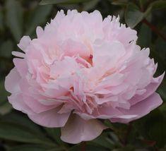 Noemi Demay - Pink Double Peony/ Paeonia lactiflora - Kelways