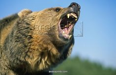 Grizzly bear-left/under-open mouth