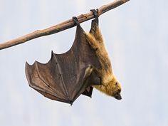 hanging bat - Google Search