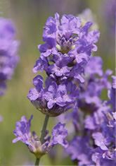 """Ashdown Forest""  A simply marvellous, very bushy pale purple flowered lavender from a magical garden in Winnie-the-Pooh country. Ideal for a low hedge. Height 50cm (20in). Introduced in the 1980s. (Very hardy lavender angustifolia) EG"