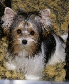Cute Biewer Terrier Dog