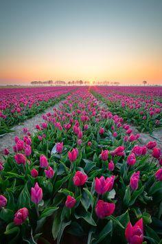 Field of purple tulips Zeeland the Netherlands [OC] Mother Earth, Mother Nature, Pink Nature, Tulips Garden, Purple Tulips, Felder, Landscape Photographers, Amazing Destinations, Bellisima