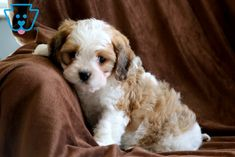 This darling boy is ready to be the loving, loyal companion that you are looking for! He is a gorgeous Cavachon puppy who is very social and friendly as Havanese Breeders, Cockapoo Dog, Cavachon Puppies, Rottweiler Puppies, Small Puppies For Sale, Dogs And Puppies, Doggies, Cute Baby Animals, Cute Babies