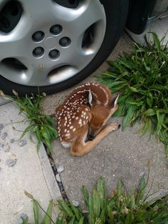 I sincerely hope this fawn is ok. I can't imagine why it'd be in someone's driveway next to a car if it's mom was around.
