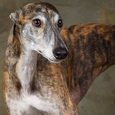 Greyhounds ... such cool dogs