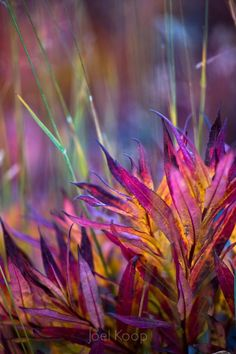 Fireweed turning bright colours high on the mountainside near Mt Edith Cavell in Jasper National Park. by Joel Koop Jewel Colors, Jewel Tones, Bright Colours, Terre Nature, Beautiful Flowers, Beautiful Pictures, Exotic Flowers, Beautiful Things, Fotografia Macro