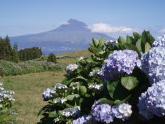 Hydrangea are, by far, my favorite addition to a landscape. Faial Island, Azores, Portugal.