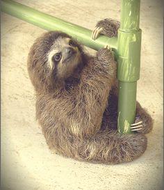 baby sloth                                                       …