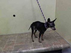 SUPER URGENT 2/24/15 Manhattan Center  SALVADOR - A1028705  I am an unaltered male, black and brown Miniature Pinscher and Chihuahua - Smooth Coated.  The shelter staff think I am about 8 years old.  I weigh 10 pounds.  I was found in NY 10468.  I have been at the shelter since Feb 24, 2015.