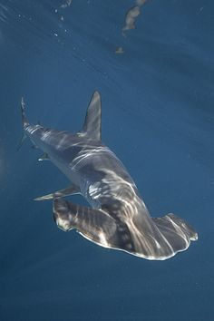I used to see these from time to time in Panama 1971-1974; Hammerhead shark, dappled light.