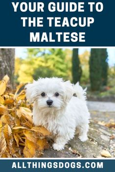 A Teacup Maltese is exactly what the name implies a really small Maltese dog to be precise! These little pups have very quickly spiked into popularity over the past 20 years. Find out why in our breed guide here! Teacup Dog Breeds, Maltese Dog Breed, Teacup Maltese, Dog Health Tips, Dog Facts, Island Nations, Small Breed, 20 Years, Your Dog