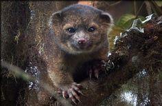 L'olinguito est un nouveau mammifère carnivore découvert dans les forêts andines d'Équateur et de Colombie, grandement menacé par la déforestation. © Mark Gurney, cc by 3.0