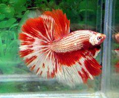 fwbettashm1345915144 - Quality   Hm    Fancy red dragon  male