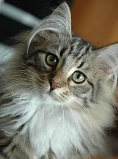 The Norwegian Forest Cat is a truly natural breed and really does originate from Norway.