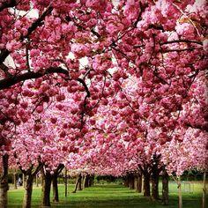 Brooklyn Botanic Garden, Kings, New York - Sakura Matsuri. Cherry blossoms.