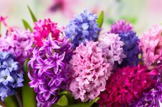 How to plant potted hyacinths. Are one of the spring flowers that are often forced into bloom early. It is a welcome flower, signaling the beginning of another growing season, and many stores sell magnificent in bloom with fragrance that fills a List Of Flowers, Types Of Flowers, Petunias, Fall Blooming Flowers, Spring Flowers, Blue Plants, Flower Meanings, Star Of Bethlehem, Spring Plants