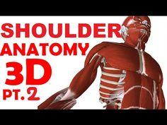Rotator Cuff - Shoulder Muscles Anatomy - YouTube