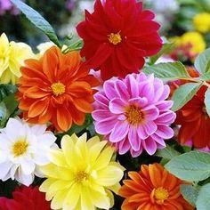 50+ Dahlia Unwins Bedding Mix Flower Seeds , Under The Sun Seeds