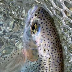Trout Love  #rainbowtrout #weekendmood #forelle #trota #fishingmakesyouhappy #fliegenfischen #catchandrelease #itonlycountsonthefly #flytying #aosfishing #fishing #fischen #flyfishing #fluefiske #fluefiskeri #perhokalastus #vliegvissen #tightlines #pescaconmosca #pechemouche #graz #austria #angeln #keepemwet #keepemwetfishing #keepfishwet #flyfishingaddict #seewhatsoutthere  @orvisuk @aosfishing @orvisflyfishing @loop_tackle @simmsfishing @guidelineflyfish @rioproducts @skinnywaterculture @ahrex Graz Austria, Rainbow Trout, Fly Tying, Fly Fishing, Fishing, Camping Tips, Fishing Lures
