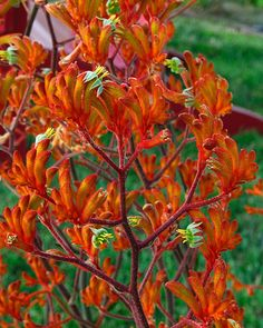 kangaroo paws plant | kangaroo paw kangaroo paw plant; love the color:)