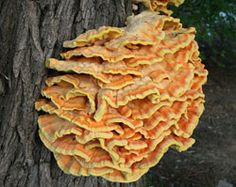 De ZWAVELZWAM (of 'boskip') is een van de meest smaakvolle paddenstoelen. Het herkennen en klaarmaken van deze vreemde zwam is simpel en zonder enig risico. De zwavelzwam is niet alleen smakelijk maar tevens een echte schoonheid onder de paddenstoelen. De bijnaam boskip zegt het al, deze zwam smaakt echt naar kip.