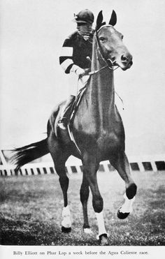 """Phar Lap and Billy Elliott, 1932. New Zealand-bred Phar Lap (which means """"lightning"""" in Thai) became famous and a national icon in Australia, where he primarily raced during his four-year career. The monstrous horse measured a staggering 17.1 hands high while his heart weighed 13.7 pounds, significantly more compared to the average horse heart weight of just 9 pounds."""