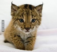 The Iberian lynx, (Lynx pardinus) is a critically endangered species of felid native to the Iberian Peninsula in Southern Europe. Paws for the News Carl Milson & Shane Carr www. Rare Animals, Cute Baby Animals, Animals And Pets, Wild Animals, Beautiful Cats, Animals Beautiful, Beautiful Pictures, Big Cats, Cats And Kittens