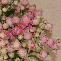 La rosa pitimini es una variedad de rosa mini muy ramificada, que resulta muy decorativa y una excelente alternativa a la rosa clásica. ¡Un regalo original!  Ramo compuesto por 10 tallos de rosa con gran cantidad de pétalos https://www.maximaflores.com/ramo-rosas-pitimini-p-318.html