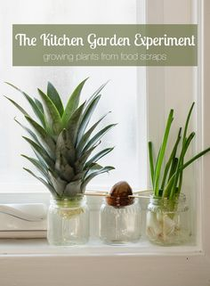 Stem activity: the kitchen garden experiment- re-growing food with kids!
